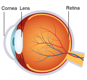 Parts of the eye affected by Myopia.